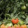 Trionfo del pomodoro a pera d'Abruzzo