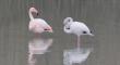 Splendidi fenicotteri sostano alla foce del Vomano